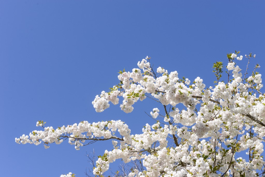 Arbre-fleuri-californie