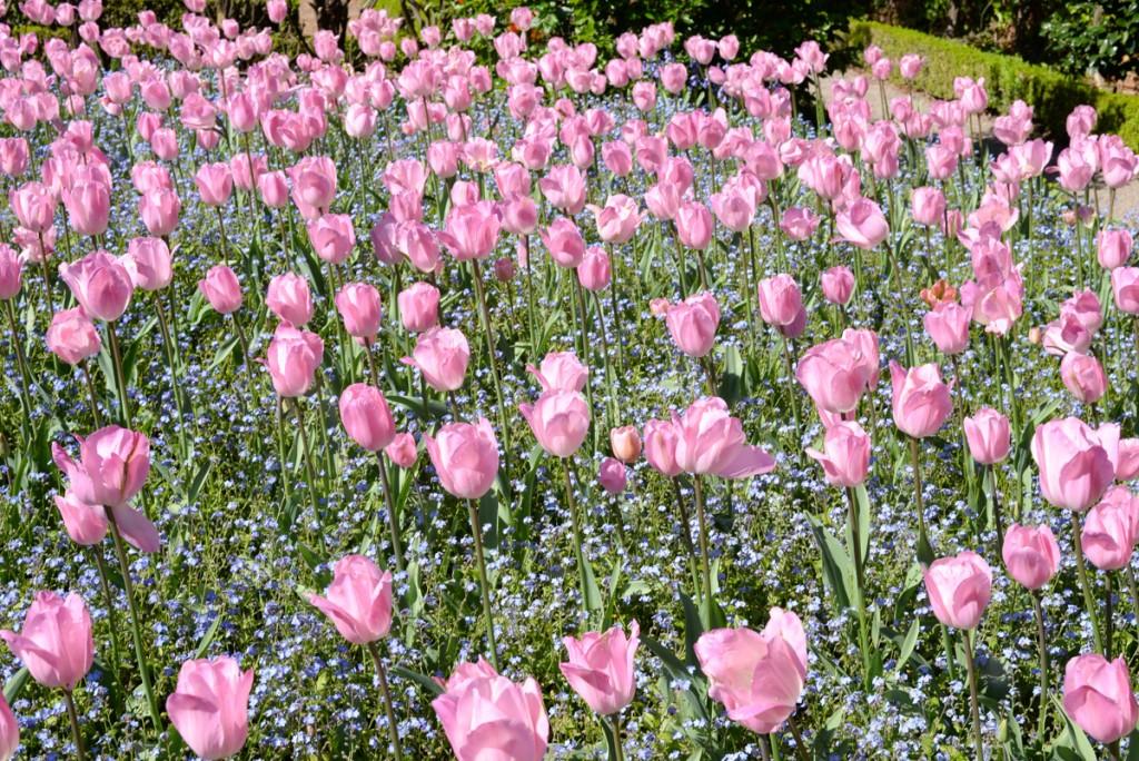 Filoli-garden-jardins-tulipes-roses