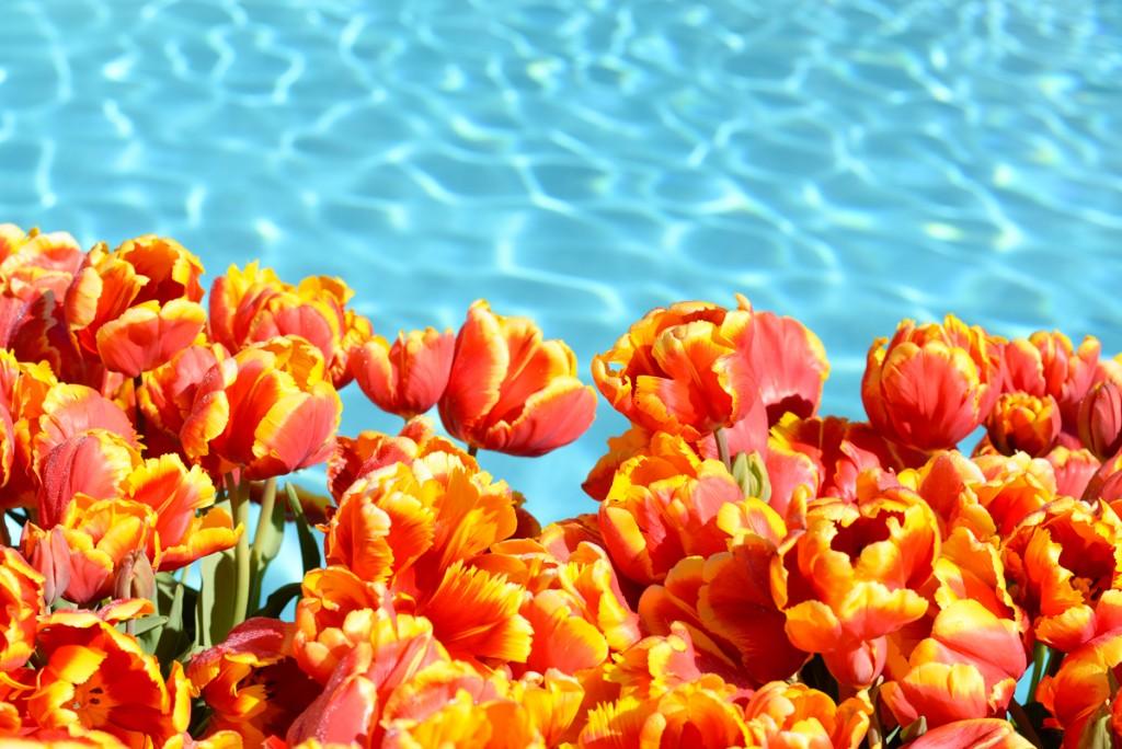 Filoli-garden-piscine-tulipes-oranges
