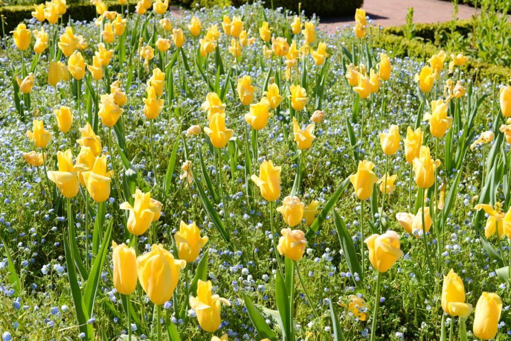 Filoli-garden-tulipes-jaunes