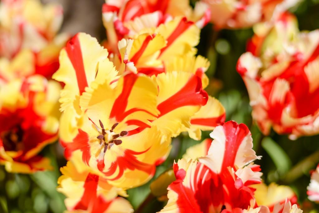 Filoli-garden-tulipes-rouge-jaune