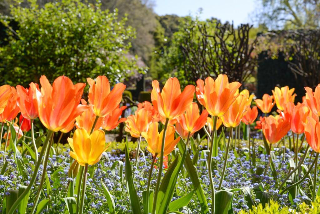 Filoli-garden-tulipes-soleil