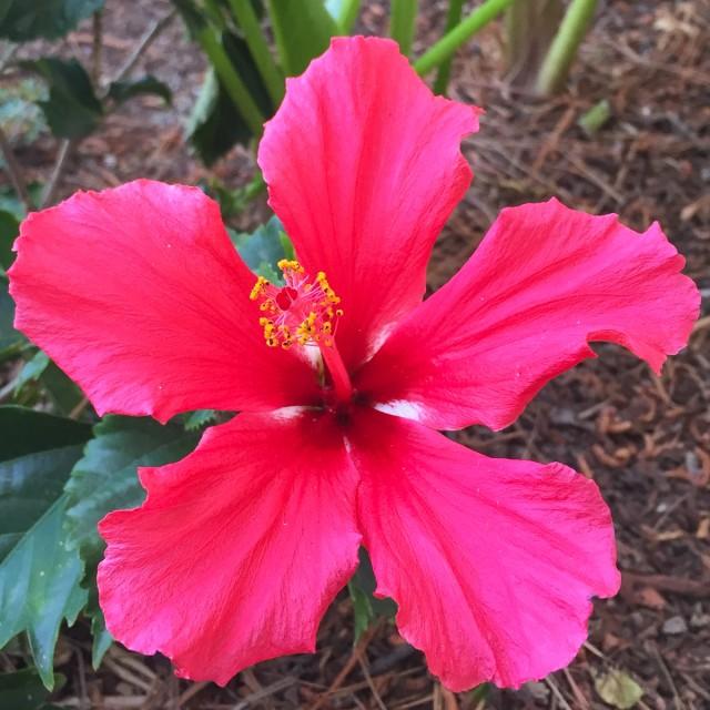 Jolis-bonheur-mars-hibiscus