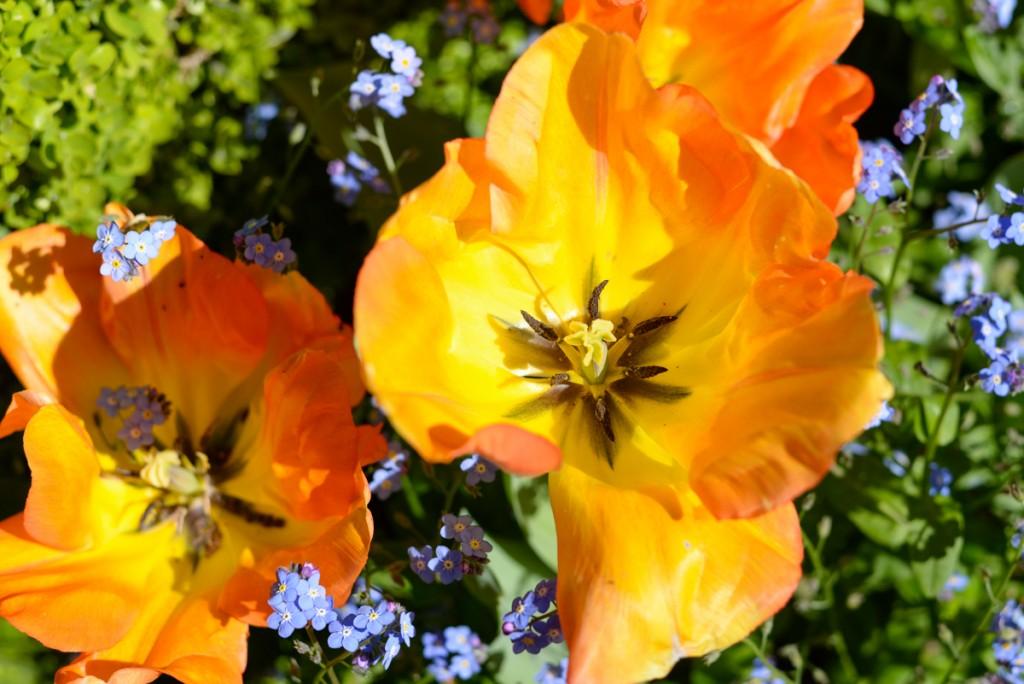 Tulipe-interieur