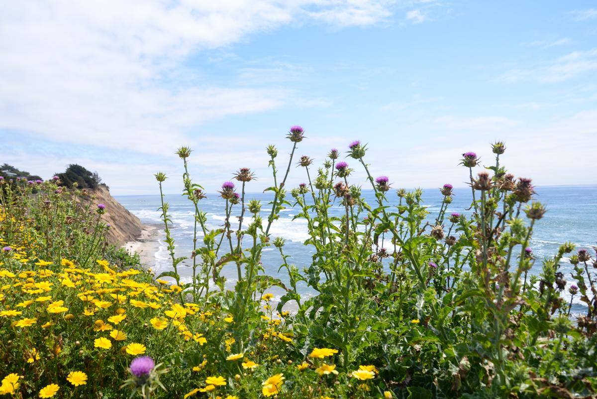 Half-Moon-Bay-fleurs-sauvages