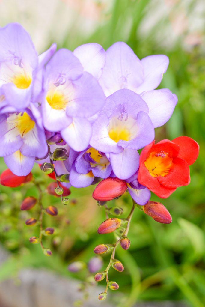 fresia-fleur
