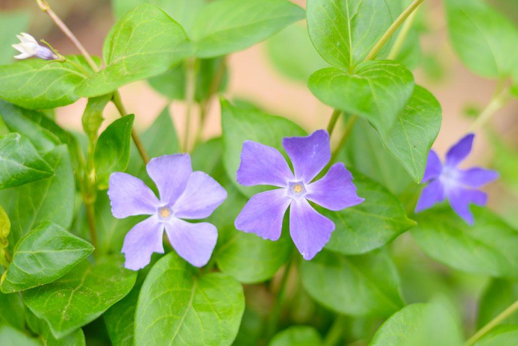 fleur-violette