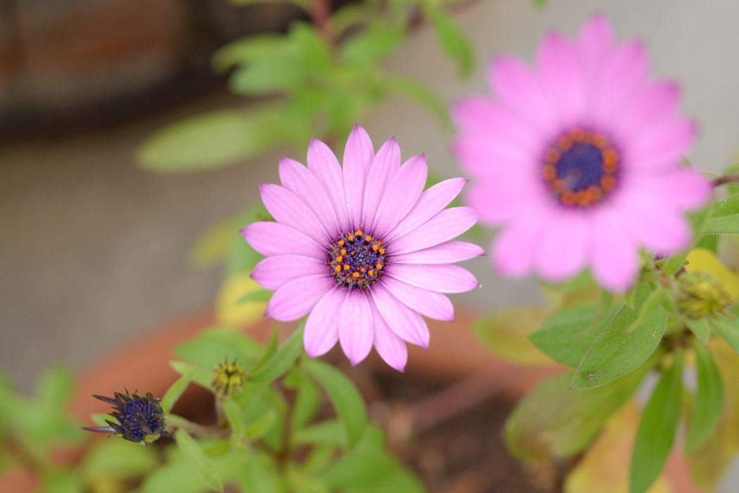 paquerette-violette