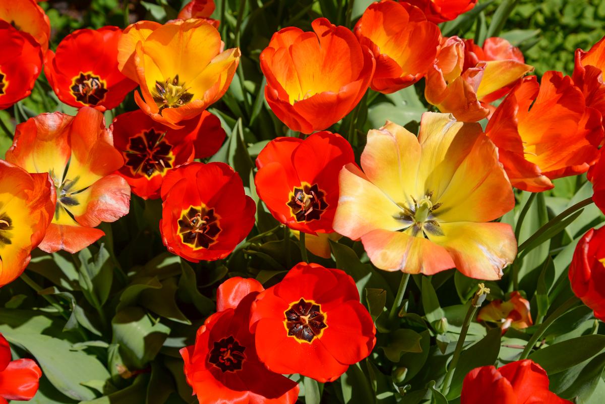 tulipes-rouge