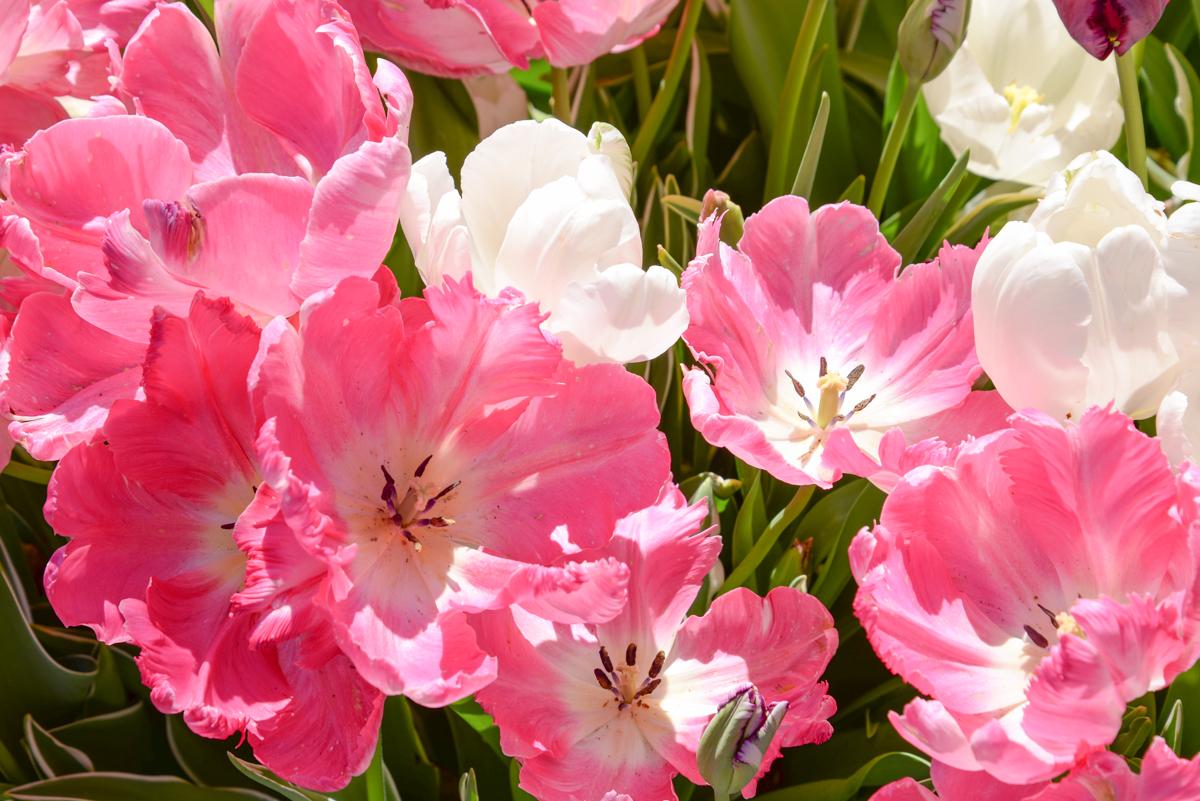 Tulipes-filoli-gardens