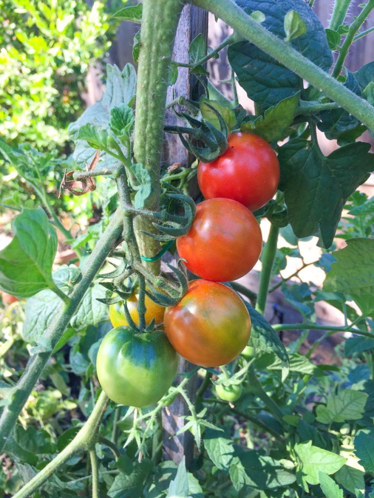 tomates-jardin-degrade