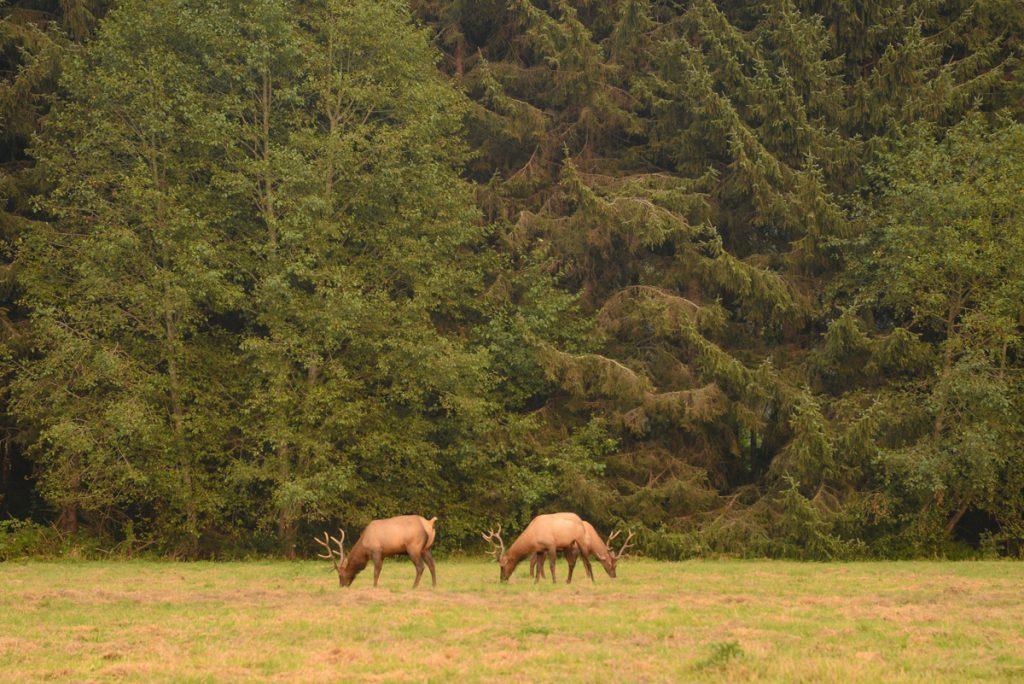 redwood-californie