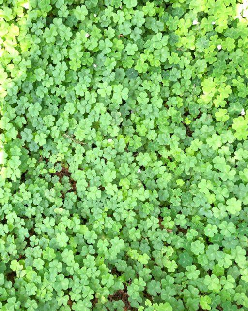 trefle-vert