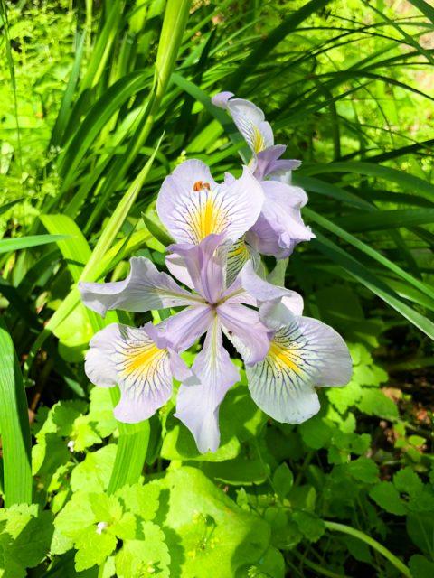 iris-sauvage