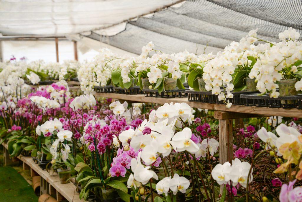 serre-orchidee