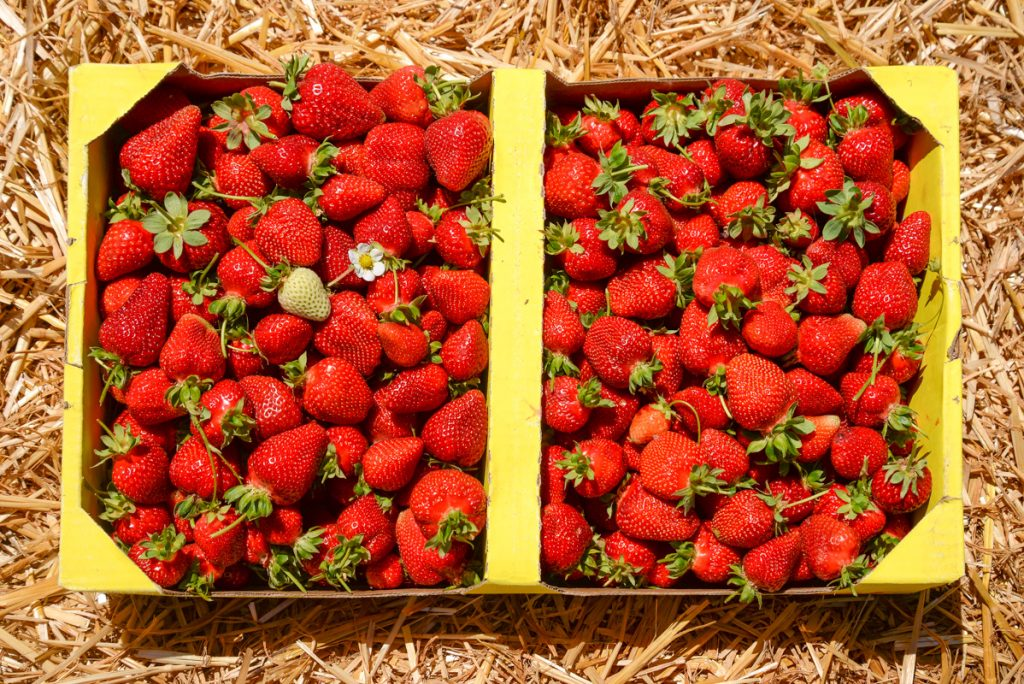 cueillette-fraises