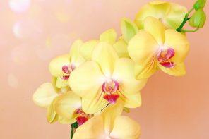 fleur-orchidee