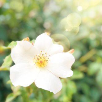 fleur-blance-rose