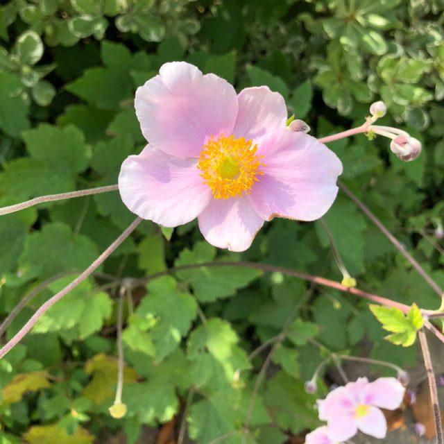 fleur-rose-californie