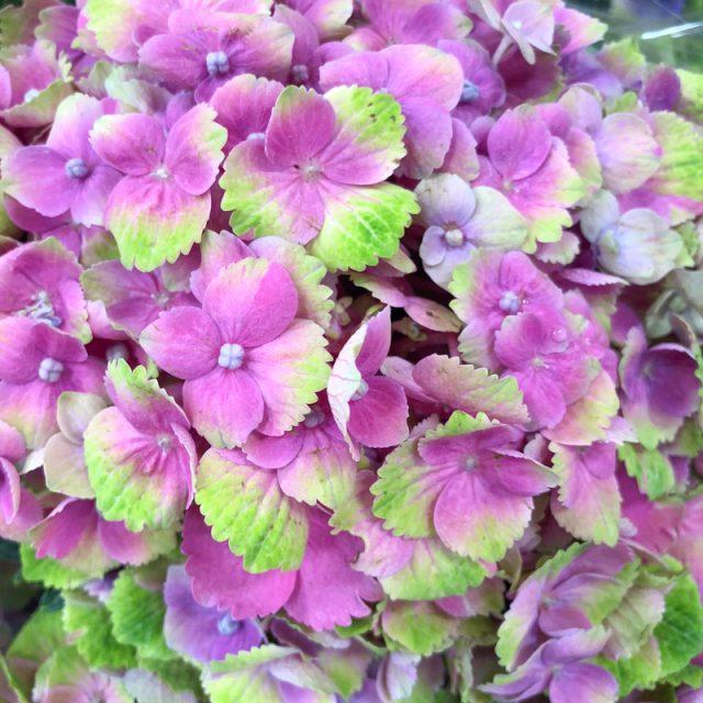 hortensia-multicolore