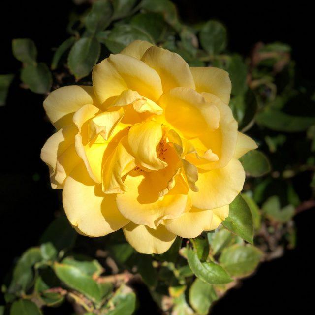 rose-jaune-californie