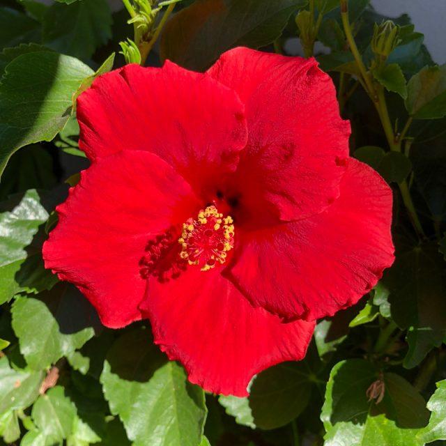 hibiscus-rouge