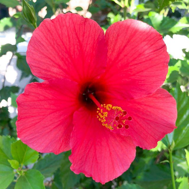 hibiscus-jardin
