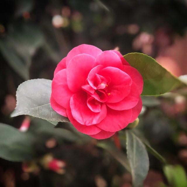 camelia-rose