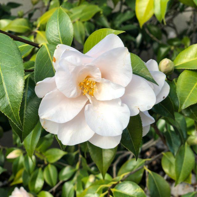 fleur-blanche