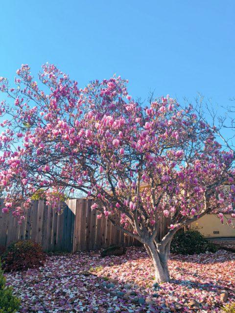 magnolia-fleuri