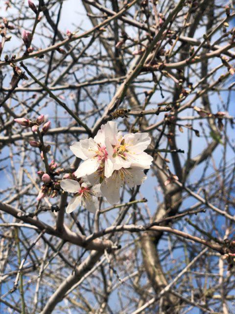 printemps-fleur-californie