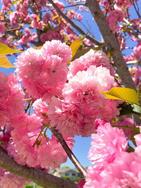 fleur-rose-pompon