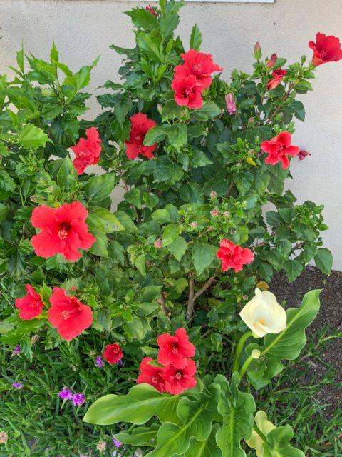 hibiscus-rouge-jardin
